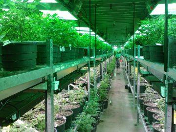 marijuana-269851_960_720
